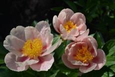 Пион Soft Apricot Kisses
