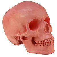 Череп людини, модель з гіпсу, рожевий, світло червоний, натурального анатомічного розміру, для декорування