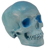 Череп людини, модель з гіпсу, блакинтий, пастельний тон, натурального анатомічного розміру, для декорування