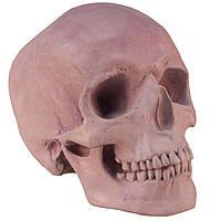 Череп людини, модель з гіпсу, фіолетовий, пастельний тон, натурального анатомічного розміру, для декорування