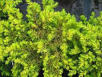 Можжевельник прибрежный 'Олл Голд' | Ялівець береговий 'Ол Голд' | Juniperus conferta 'All Gold' (ЗКС), фото 1