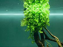 Микрантемум «Монте Карло» (Micranthemum sp. Monte Carlo 3), фото 3