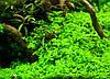 Микрантемум «Монте Карло» (Micranthemum sp. Monte Carlo 3), фото 2