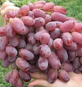 Виноград ШАХІН ІРАНУ(ранній,смак гармонійний,--21°С