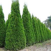 Саженцы Туи западнй Смарагд (Thuja occidentalis Smaragd) (Трехлетняя)