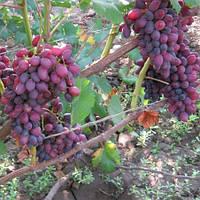 Виноград Кишмиш Юпітер США (вегетуючих)