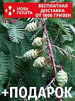Метасеквойя глиптостробоидная семена (50 шт) Metasequoia glyptostroboides для саженцев + подарок, фото 1