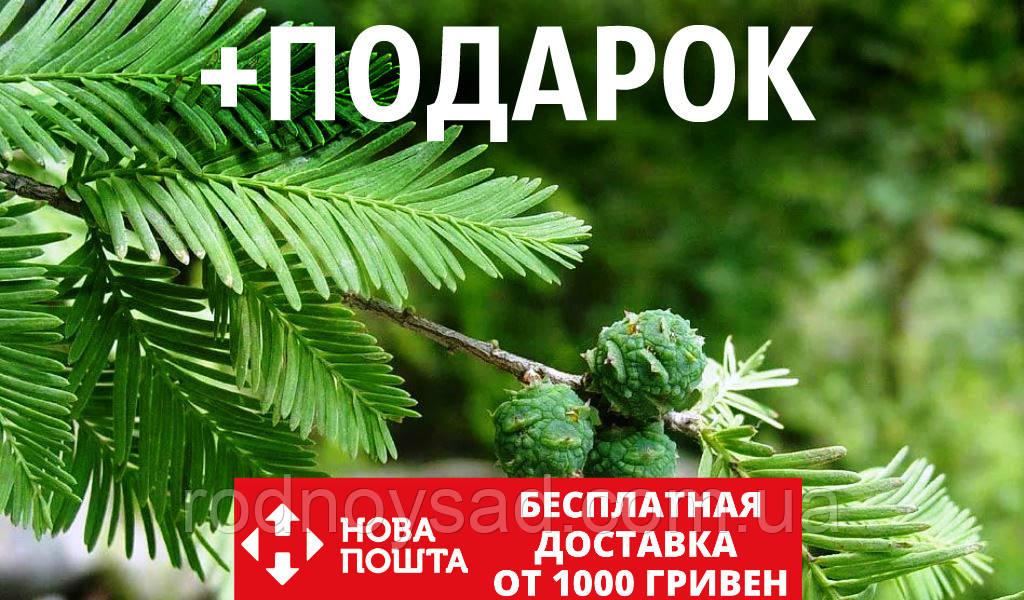 Кипарис болотный семена (20 шт) таксодиум двурядный (Taxódium dístichum) для выращивания саженцев + подарок