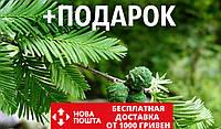 Кипарис болотный семена (20 шт) таксодиум двурядный (Taxódium dístichum) для выращивания саженцев + подарок, фото 1