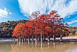 Кипарис болотный семена (20 шт) таксодиум двурядный (Taxódium dístichum) для выращивания саженцев + подарок, фото 5