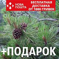 Сосна жёсткая семена (50 шт) (Pinus rigida) для выращивания саженцев + подарок