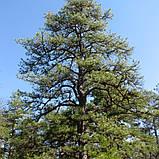 Сосна жёсткая семена (50 шт) (Pinus rigida) для выращивания саженцев + подарок, фото 4