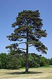 Сосна чёрная австрийская семена (50 шт) (Pinus nigra) для выращивания саженцев + подарок, фото 4