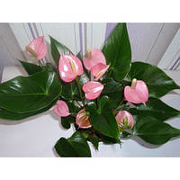 Антуриум розовый (40см.)