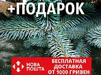 Ель голубая семена (50 шт) (Ель колючая, Pīcea pūngens) для выращивания саженцев + подарок