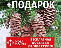 Ель белая семена (50 шт) (ель сизая канадская, Picea glauca) для выращивания саженцев + подарок
