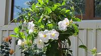 Сандевилла Дипладения (Sundaville) белая