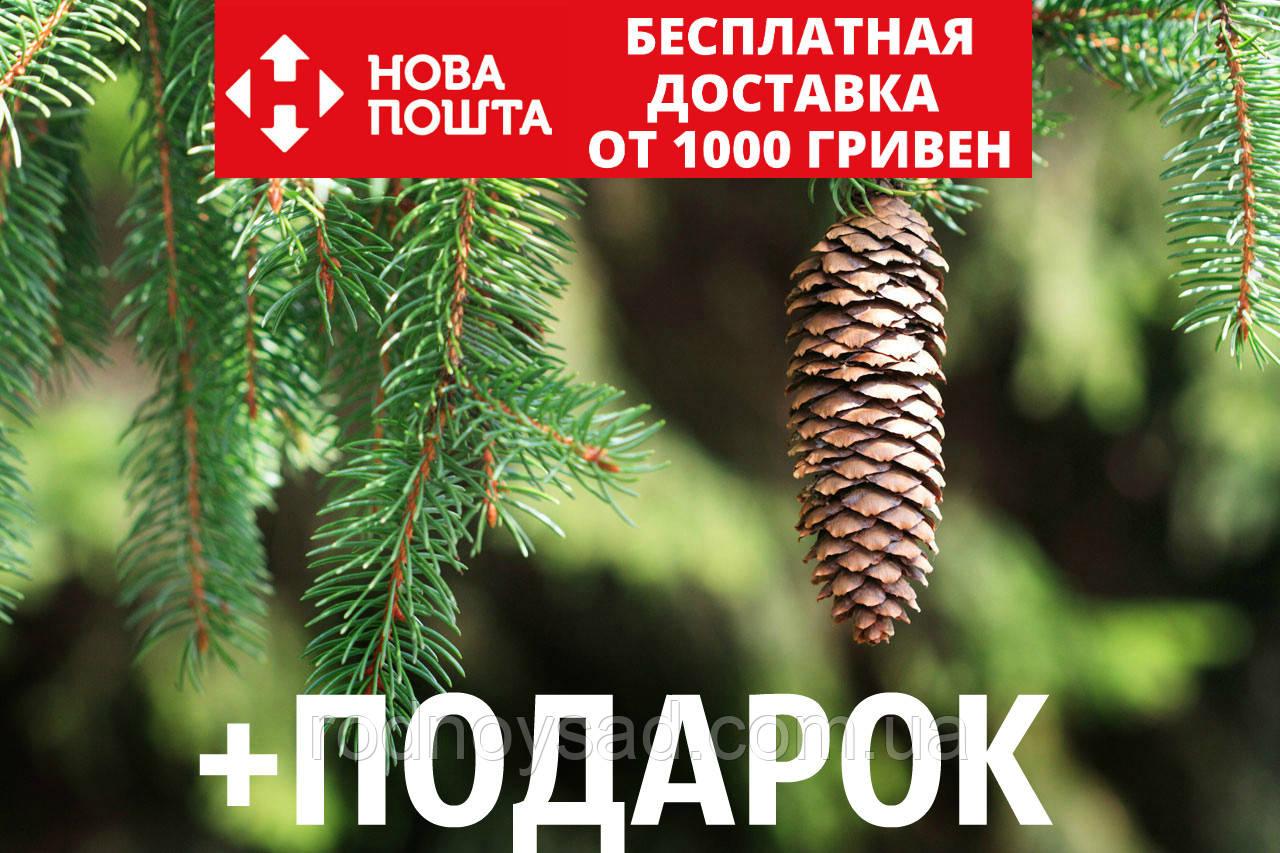 Ель европейская семена (50 шт) (ель обыкновенная, смерека, Pícea ábies) для выращивания саженцев + подарок