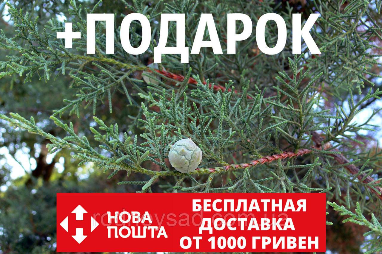 Кипарис мексиканский семена (50 шт) (Кипарис лузитанский или португальский, Cupressus lusitanica) для саженцев