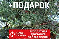 Кипарис мексиканский семена (50 шт) (Кипарис лузитанский или португальский, Cupressus lusitanica) для саженцев, фото 1