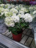 Гортензия белая (35см.)