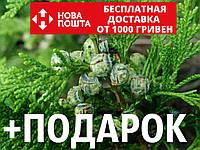 Кипарисовик горохоплодный семена (50 шт) (Chamaecýparis pisífera) для выращивания саженцев + подарок
