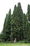 Калоцедрус низбегающий семена (20 шт) (Calocedrus decurrens) для выращивания саженцев + подарок, фото 3