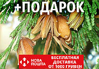 Калоцедрус низбегающий семена (20 шт) (Calocedrus decurrens) для выращивания саженцев + подарок