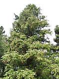 Куннингамия ланцетовидная семена (50 шт) (Cunninghamia lanceolata) для выращивания саженцев + подарок, фото 3