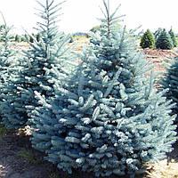 Ель колючая Глаука (Picea pungens Glauca)(Трехлетняя)