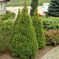 Ель канадская (сизая) Коника (Picea glauca Conica)(4-х летняя)