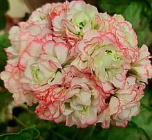 Рассада саженцы Пеларгония зональная Apple Blossom Rosebud