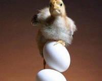Кормление цыплят яичных пород