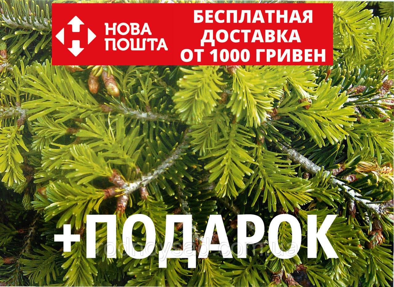 Пихта Нордмана семена (50 шт) (пихта кавказская, Ábies nordmanniána) для выращивания саженцев + подарок