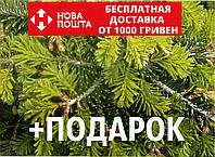 Пихта Нордмана семена (50 шт) (пихта кавказская, Ábies nordmanniána) для выращивания саженцев + подарок, фото 1