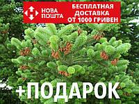 Пихта греческая семена (50 шт) (пихта кефалиниийская, Ábies cephalónica) для выращивания саженцев + подарок, фото 1