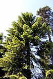 Пихта великая семена (50 шт) (Abies grandis) для выращивания саженцев + подарок, фото 3
