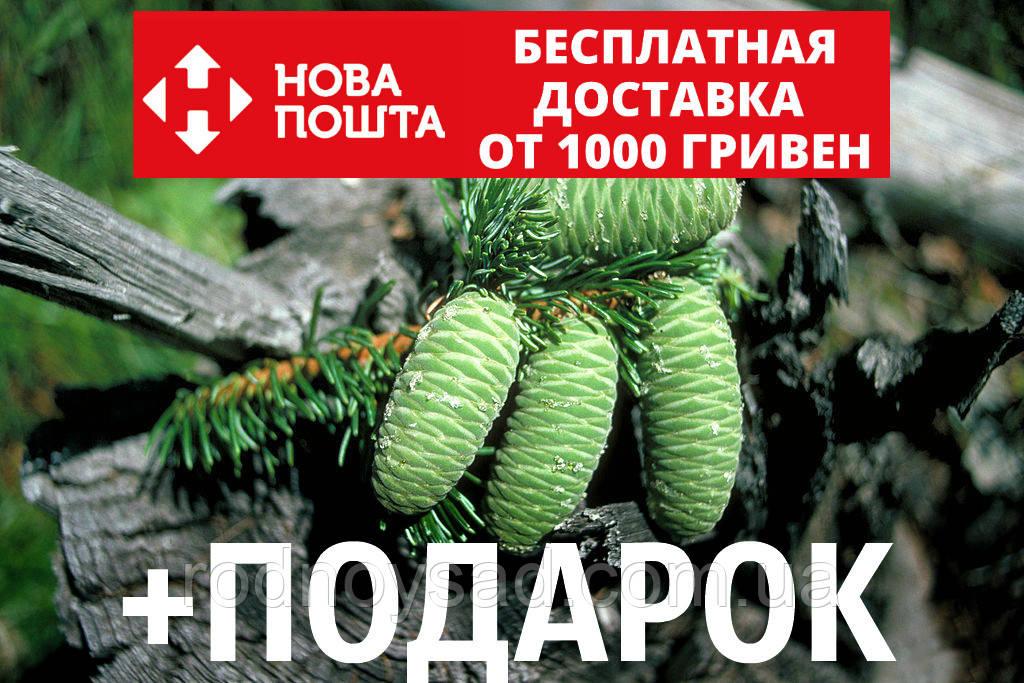 Пихта великая семена (50 шт) (Abies grandis) для выращивания саженцев + подарок