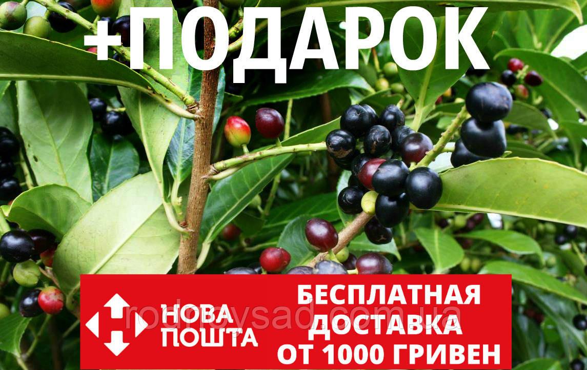 Лавровишня лекарственная семена (20 шт) (Prúnus laurocérasus) косточка для выращивания саженцев + подарок