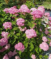 Гортензия древовидная Пинк Анабель С3 / Hydrangea arborescens Pink Annabelle