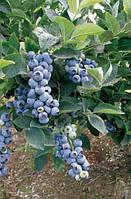 Голубика (лохина) - Блукроп (Bluecrop) Р9