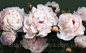 """Набор алмазной вышивки (мозаики) """"Бело-розовые пионы"""" 80х50 см"""