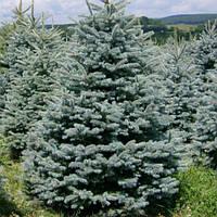 Ель колючая голубая Маджестик Блю (Picea pungens Glauca Majestic Blue) (Трехлетняя)