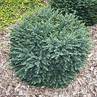 Ель сербская Карел (Picea omorika Karel)(Двухлетняя)
