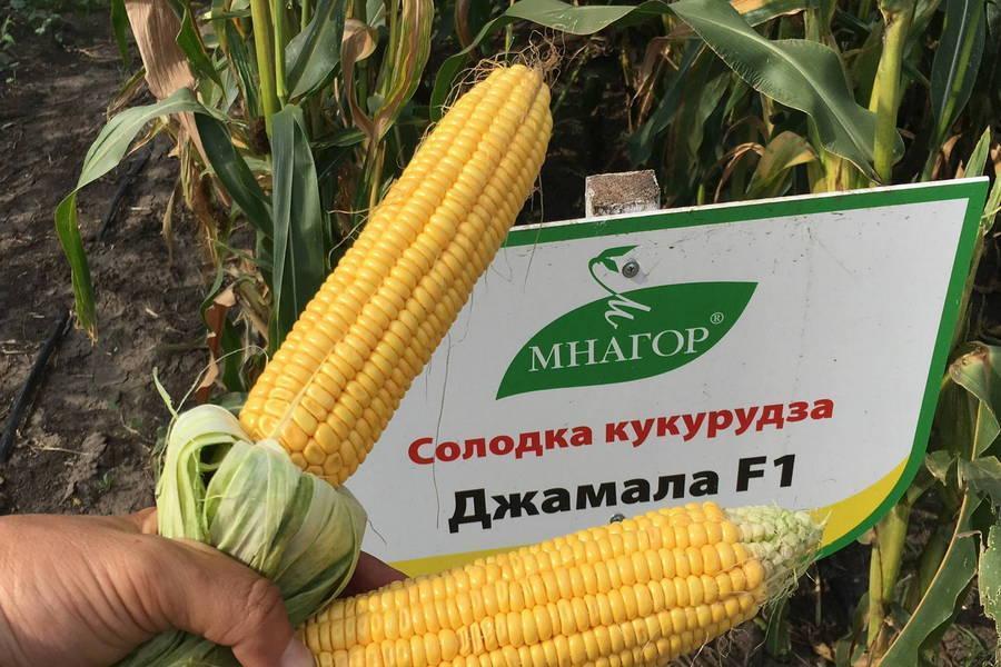 Семена сахарной кукурузы Джамала F1, Sh2-тип, 200 на 30 м², 73-75 дней раннеспелый