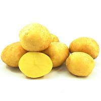 Предзаказ Весна 2021-Семенной картофель Констанс 1 репродукция 2,5 кг
