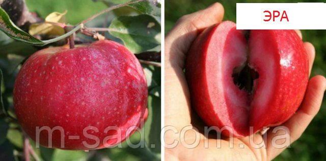 Яблуня Ера (ексклюзив)