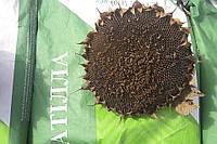Семена подсолнечник  АТИЛЛА (Єкстра), А-F, ВНИС