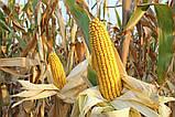 Насіння Кукурудзи ВН 63 ф2. (ФАО 280), ВНІС, фото 3