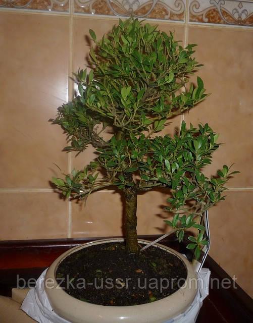 Дерево Бонсай Ilex